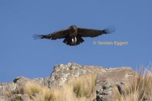 171226_DSC1787_Condor